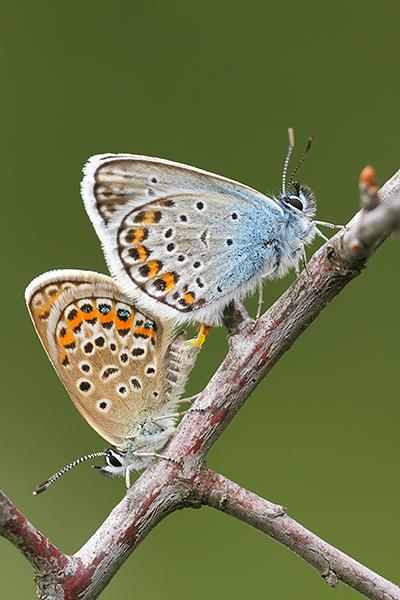 Heideblauwtje - Plebejus argus