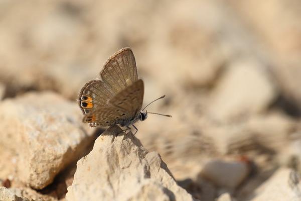 Heliotroopblauwtje - Chilades trochylus