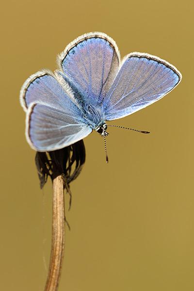 Mannetje Icarusblauwtje - Polyommatus icarus