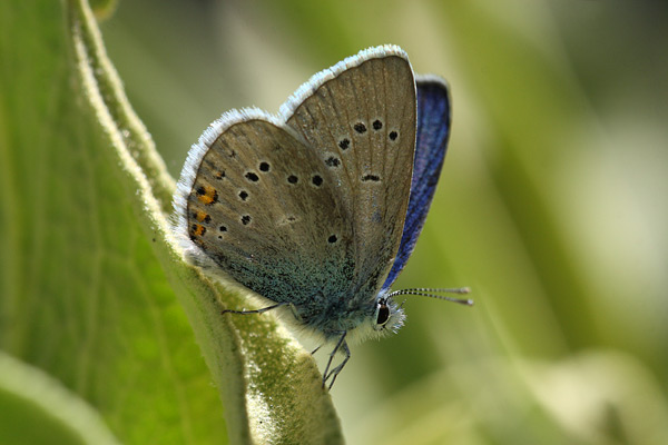 Klaverblauwtje - Polyommatus semiargus