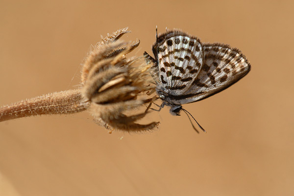 Klein christusdoornblauwtje - Tarucus balkanica