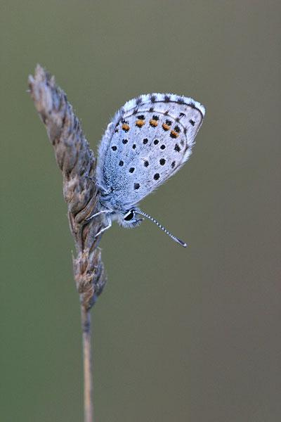 Klein tijmblauwtje - Pseudophilotes baton