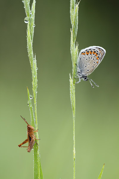 Kroonkruidblauwtje - Plebejus argyrognomon