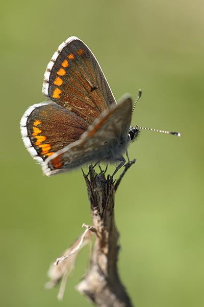 Moors bruin blauwtje - Aricia cramera