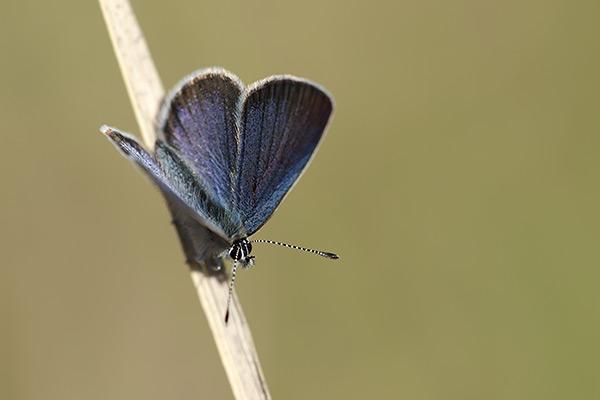 Moors dwergblauwtje - Cupido lorquinii
