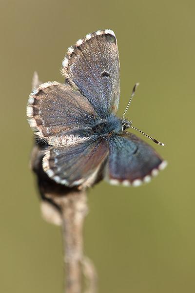 Moors tijmblauwtje - Pseudophilotes abencerragus
