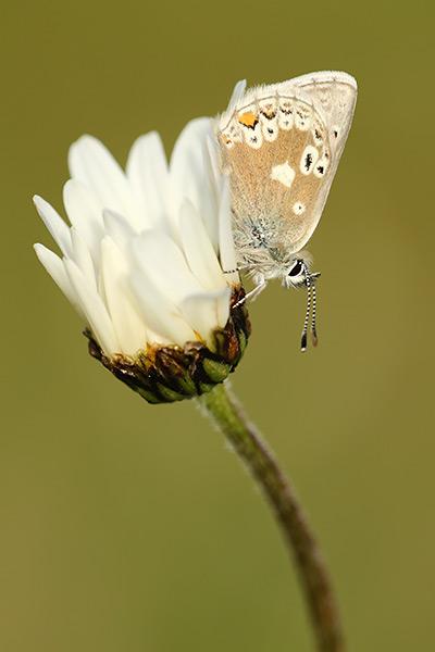 Noordelijk mansschildblauwtje - Agriades glandon