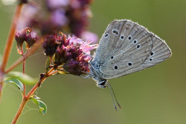 Oostelijk esparcetteblauwtje - Polyommatus admetus