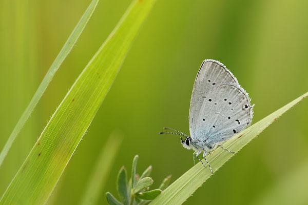 Oostelijk staartblauwtje - Cupido decolorata