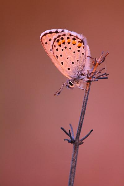 Oostelijk tijmblauwtje - Pseudophilotes vicrama