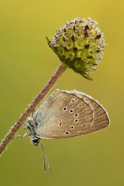 Pimpernelblauwtje - Maculinea teleius