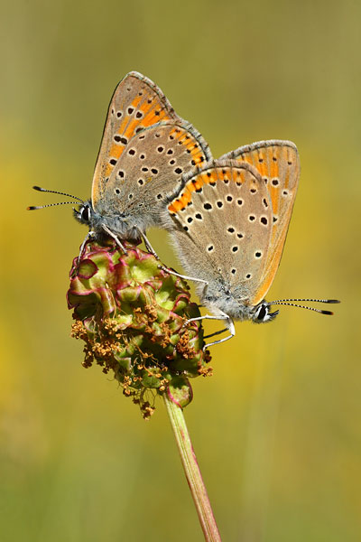 Rode vuurvlinder - Lycaena hippothoes
