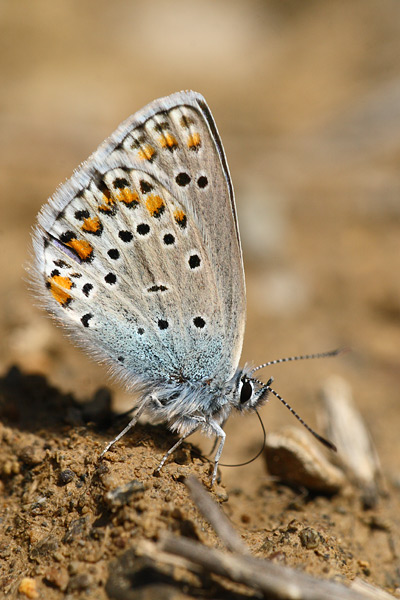 Saffierblauwtje - Plebejus pylaon