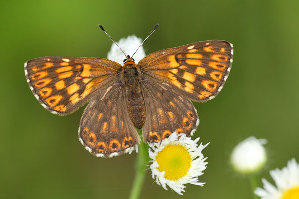 Sleutelbloemvlinder - Hamearis lucina