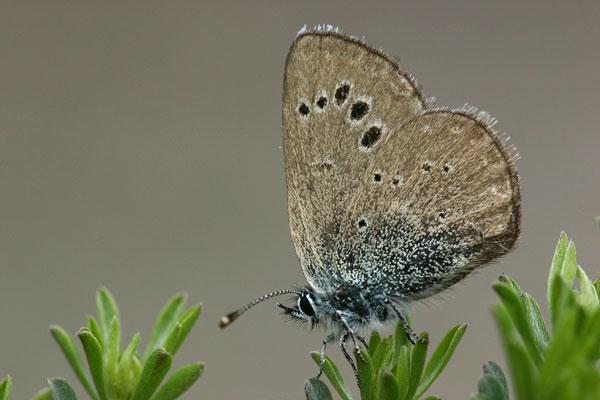 Spaans bloemenblauwtje - Glaucopsyche melanops