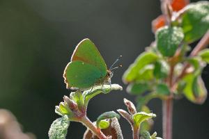 Aardbeiboomgroentje - Callophrys avis