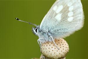 Alpenblauwtje - Albulina orbitulus