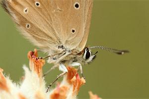 Aosta-esparcetteblauwtje - Polyommatus humedasae
