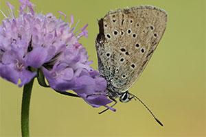 Berggentiaanblauwtje - Maculinea rebeli