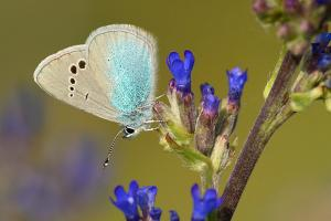 Bloemenblauwtje - Glaucopsyche alexis