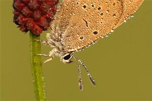 Donker pimpernelblauwtje - Maculinea nausithous