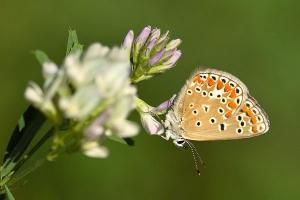Esparcetteblauwtje - Polyommatus thersites