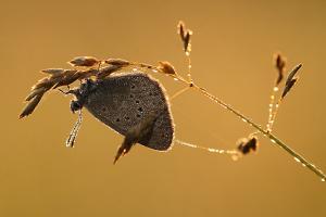Gentiaanblauwtje - Maculinea alcon