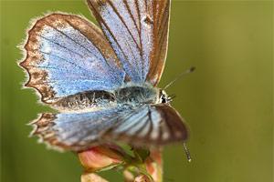 Getand blauwtje - Polyommatus daphnis