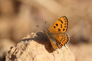 Oostelijke vuurvlinder - Lycaena thersamon