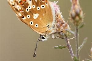 Provencaals bleek blauwtje - Polyommatus hispana