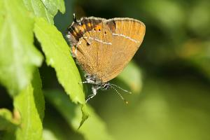 Pruimepage - Satyrium pruni