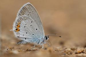 Staartblauwtje - Cupido argiades