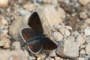 Vals bruin blauwtje - Aricia artaxerxes