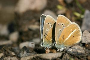 Witstreepblauwtje - Agrodiaetus damon