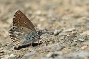 Zilverbruin blauwtje - Aricia nicias