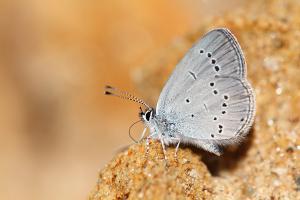 Zuidelijk dwergblauwtje - Cupido osiris