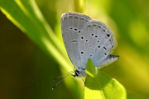 Zuidelijk staartblauwtje - Cupido alcetas