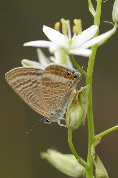 Tijgerblauwtje - Lampides boeticus