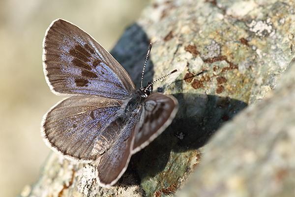 Tijmblauwtje - Maculinea arion