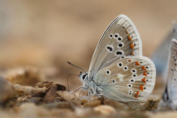 Turkooisblauwtje - Polyommatus dorylas
