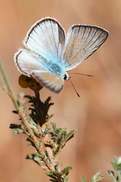 Vachtblauwtje - Polyommatus dolus