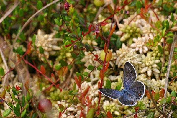 Veenbesblauwtje - Plebejus optilete