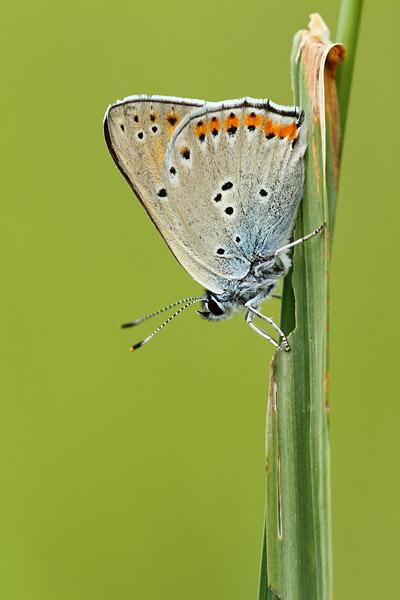 Violette vuurvlinder - Lycaena alciphron