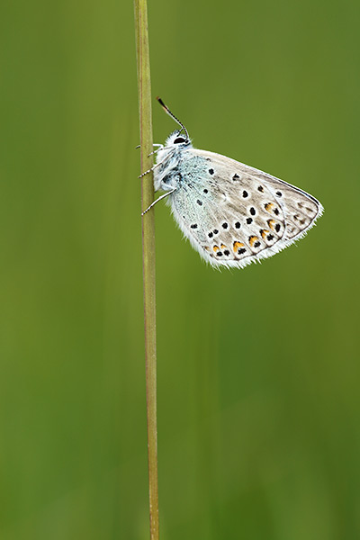 Vlaggewikkeblauwtje - Polyommatus eros
