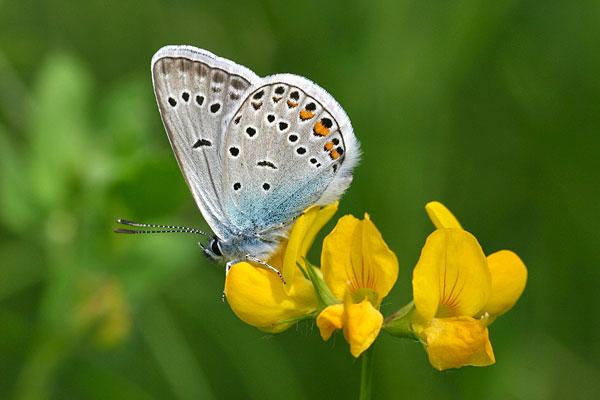 Wikkeblauwtje - Polyommatus amandus
