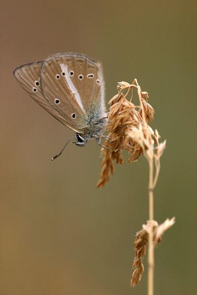 Zuidelijk esparcetteblauwtje - Polyommatus ripartii