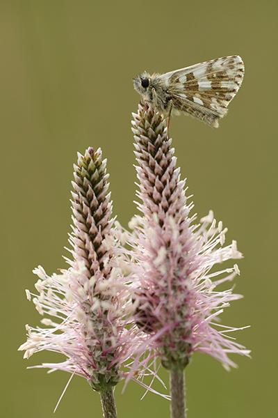 Bretons spikkeldikkopje - Pyrgus armoricanus