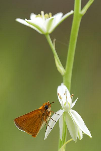 Dwergdikkopje - Thymelictus acteon