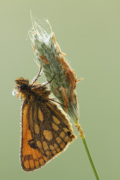 Geelbont dikkopje - Carterocephalus silvicola