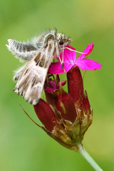 Kaasjeskruiddikkopje - Carcharodus alceaea